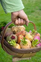 Harvested autumn vegetables in trug - Carrots, beetroot, parsnips and turnips