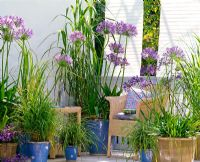 Agapanthus africanus, Phleum, Carex morrowii and Miscanthus in containers on balcony