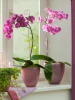 Phalaenopsis and Hedera in windowsill pots