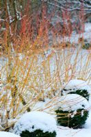 Snow covered Cornus sanguinea 'Midwinter Fire' and Box topiary