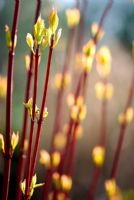 New leaves emerging on Cornus alba 'Sibirica'