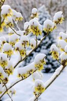 Snow covered Hamamelis x intermedia 'Sunburst'
