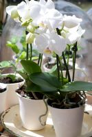 Phalaenopsis - White Moth Orchids in white containers
