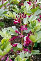 Vicia faba - Crimson flowered broad bean pot sown 27 Jan, planted out 23 March shown 9 May