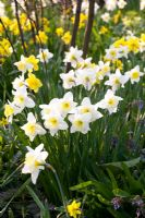 Narcissus 'Ice Follies'