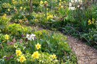 Path through mixed spring border with Narcissus lerchensporn, Corydalis and  Helleborus orientalis