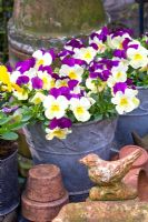 Viola cornuta in decorative metal pot