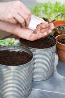 Mixed lettuce seeds, including - Red russian kale, Rocket, Chervil, Mizuna and Tatsoi, being planted in large recycled tin cans as planters
