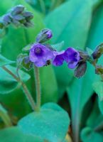 Pulmonaria angustifolia 'Munstead Blue'
