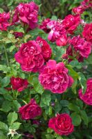 Rosa 'Darcey Bussell' at David Austin Roses Albrighton, Staffordshire