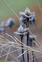 Frosty seedheads of Echinacea and Molinia