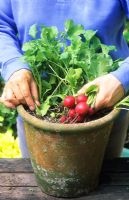 Harvesting pot container grown Radish 'Cherry Bell'