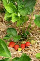 Fragaria - Ripening strawberries mulched with straw in June