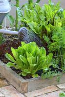 Watering organic vegetables in raised beds designed for square foot gardening - Beetroot, lettuces, salads and carrots