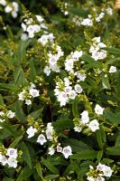 Parahebe catarractae white flowered