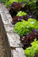 Mixed lettuce growing in a raised bed made from old railway sleepers