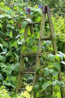 Climbing beans growing over a rustic recycled wooden ladder used as a wigwam