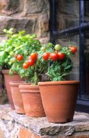 Pots of miniature dwarf tomatoes 'Red Robin' on a windowsill