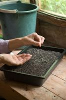 Step by step 4 of sowing tomato seeds - Sowing seeds on surface of moist compost