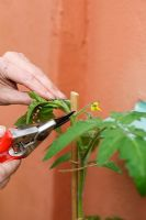 Step by step of planting tomatoes in a growing bag - Removing growing tip when it has reached top of cane
