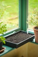 Step by step of sowing tomato seeds - Seed tray placed on window ledge
