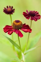 Helenium 'Ruby Thuesday' syn. 'Ruby Tuesday'