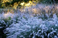 Frost covered grasses and seedheads of perennials including Pennisetum alopecuroides 'Hameln', Verbena bonariensis, Echinacea and Panicum virgatum 'Hanse Herms' in the Decennium border at Knoll Gardens, Dorset. November.