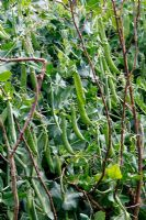 Pea 'Hurst Greenshaft'