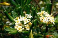 Pittosporum tobira AGM