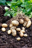 Maris Bard early potatoes lifted in mid June from a mid March planting - the yield from one tuber