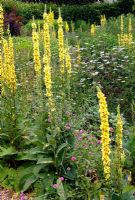 Verbascum chaixii and hybrids