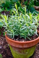 Artemisia dracunculus - French Tarragon growing in terracotta pot