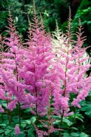 Astilbe 'Cattleya' and Astilbe 'Venus'