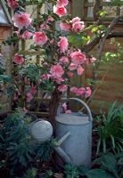 Metal watering can with pink Camellia