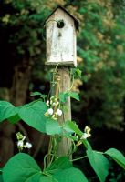 Bird box with Runner bean 'White Lady' - Phaseolus