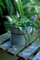 Muscari azureum in aluminium pot on blue chair