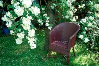 Painted aubergine Lloyd Loom chair under tree with Rosa 'Rambling Rector'