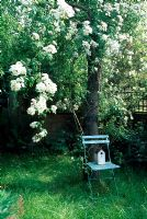 Bird box on painted chair under tree with Rosa 'Rambling Rector'