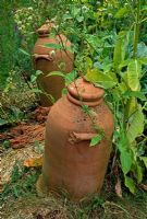 Rhubarb forcing pots in overgrown vegetable garden