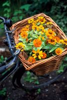 Rudbeckia in bicycle basket
