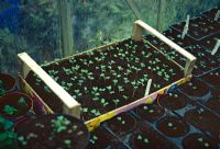 Seedlings in veg box and seed trays