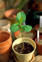 Malus seedling in pot on with other pots