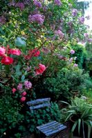 Painted blue chair in garden with Solanum crispum 'Glasnevin' and Roses