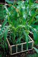 Young sweetcorn plants in small veg plot