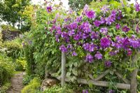 Rustic trellis with purple climbing clematis with flowers in profusion, packed into an idyllic English cottage garden, at Grafton Cottage ,NGS, Barton-under-Needwood Staffordshire