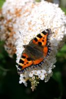 Tortoiseshell butterfly on Buddleja davidii