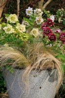 Double Helleborus x hybridus - Hellebores underplanted with a Stipa tenuissima - Pony Tail grass in a French enamel bowl