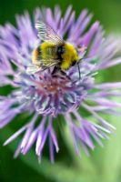 Centaurea scabiosa - Greater knapweed with Bumble Bee