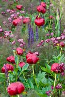 Astrantia major 'Claret' with Salvia 'Caradonna', Paeonia 'Buckeye Belle' and Foeniculum vulgare - The Laurent-Perrier Garden, Sponsored by Champagne Laurent-Perrier - Gold medal winner at RHS Chelsea Flower Show 2009