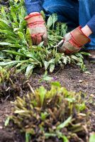 Cutting back flowers and foliage on Pulmonaria 'Diana Clare' after flowering to promote new growth in May, Summer